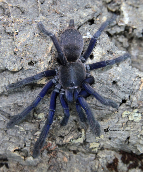 Chilobrachys sp Vietnam blue